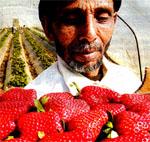Φράουλες και αίμα στη Nέα Mανωλάδα